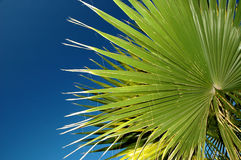 Palm. Against blue sky Stock Images