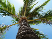 Palm. Royalty Free Stock Image