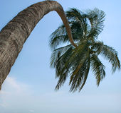 Palm. Coconut palm tree on blue sky Stock Images