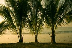 Palm. Photo of three palm trees on an ocean coast, Thailand Stock Images