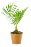 Palm. Witn flowerpot. Isolated on white royalty free stock image