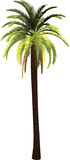 Palm. Tropical palm tree illustration. Isolated Stock Photography