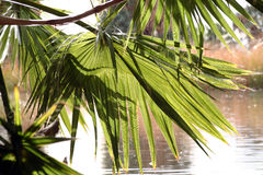Palm. Tree Stock Photography