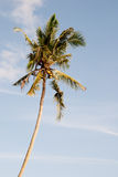 Palm against blue sky Royalty Free Stock Photography