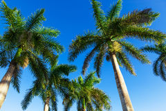 Palm against a blue sky Royalty Free Stock Photography