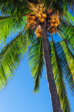 Palm against blue sky Royalty Free Stock Photo