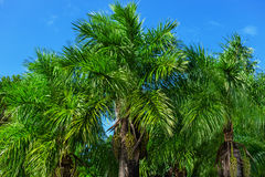 Palm against a blue sky Stock Image