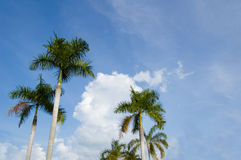 Palm againts sky. Palm trees over blue sky Royalty Free Stock Image