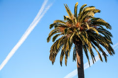 Palm and an airplane trail Royalty Free Stock Photography