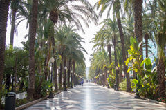Palm alley at Alicante Stock Photography