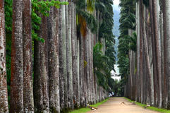 The Palm alley in The Botanical Garden in Rio de Janeiro Stock Photos