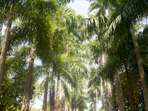 The Palm alley in The Botanical Garden in Rio de Janeiro Royalty Free Stock Image