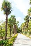 Palm alley in Nikitsky Botanical Garden Royalty Free Stock Photo