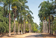 Palm alley in Peradeniya Royal Botanical park in Kandy, Sri Lanka Stock Image