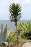 Palm, aloe and agave at the South coast of Madeira Royalty Free Stock Image