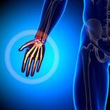 Palm Anatomy - Anatomy Bones. Medical imaging Royalty Free Stock Images
