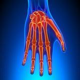 Palm Anatomy with Circulatory System Stock Photos