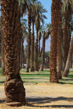 Palm avenue in the oasis Stock Photography