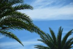 Palm Backdrop Royalty Free Stock Image