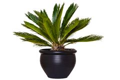 Palm background. Closeup of a palm in a decorative black ceramic pot isolated on a white background royalty free stock images