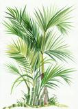 Palm bamboo tree Stock Image
