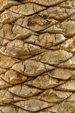 Palm Bark. Close-up of the bark from an old large palm tree that's been stripped Royalty Free Stock Photography