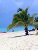 Palm on Beach. Palm Tree on Beach in Aitutaki royalty free stock images