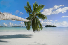 Palm on the beach Royalty Free Stock Image
