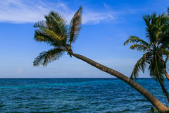 Palm on beach of Caribbean sea. In Nicaragua Royalty Free Stock Photography