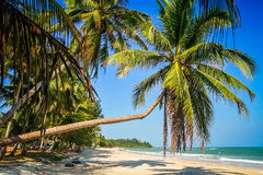 Palm on the beach in Thailand Royalty Free Stock Image