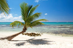 Palm on beautiful caribbean beach. Dominican Republic Royalty Free Stock Photography