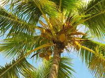 Palm. Beautiful palm tree with cocoes Royalty Free Stock Photo