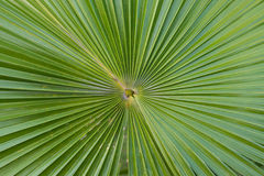 Palm blade. Stalk palm green nature tree Royalty Free Stock Images