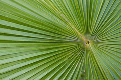 Palm blade. Stalk palm green nature tree Royalty Free Stock Image