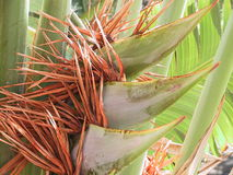 Palm with blossom. Detail of a palm stock photos