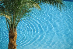 Palm on blue pool Stock Image