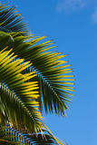 Palm and blue sky Royalty Free Stock Photography
