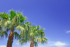 Palm and  blue sky Stock Images
