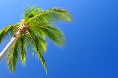 Palm on blue sky background Royalty Free Stock Image