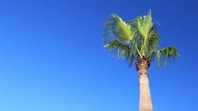 Palm on blue sky background. Palm tree on blue sky background stock video footage