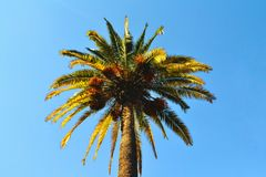 A palm with blue sky. A green palm with a blue clear sky stock photo