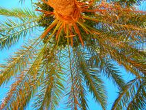 Palm and blue sky. Royalty Free Stock Photos