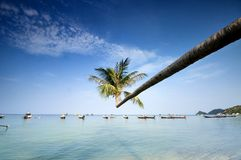 Palm and boats on tropical beach. Palm and longtail boats on tropical beach. Ko Tao island, Thailand Royalty Free Stock Photos