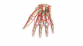 Palm Bones with arteries. The proximal row consists of the scaphoid, lunate, triquetrum and pisiform. These bones are closely approximated to the distal radius stock video