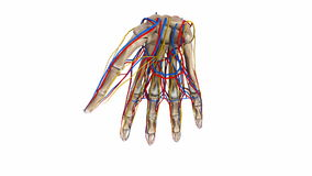 Palm Bones with blood vessels and nerves. The proximal row consists of the scaphoid, lunate, triquetrum and pisiform. These bones are closely approximated to the stock video