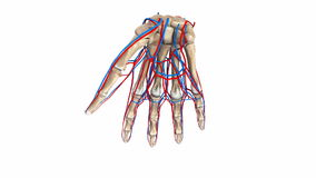 Palm Bones with blood vessels. The proximal row consists of the scaphoid, lunate, triquetrum and pisiform. These bones are closely approximated to the distal stock video footage