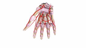 Palm Bones with ligaments and arteries stock footage