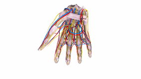 Palm Bones with ligaments, blood vessels and nerves stock video