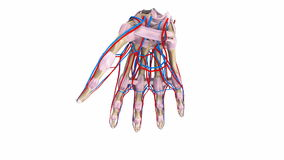 Palm Bones with ligaments and blood vessels stock footage