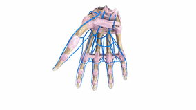 Palm Bones with ligaments and veins. The proximal row consists of the scaphoid, lunate, triquetrum and pisiform. These bones are closely approximated to the stock video